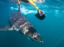 Full Day Great White Shark Cage Diving